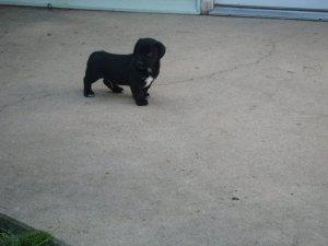 corgidor puppy